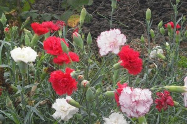 carnation-colour-480x480837E09DB-E039-BD23-D7ED-8984EEAF5A47.jpg